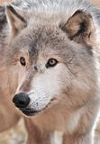 Intense Timber Wolf. (Canis lupus) - portrait - captive animal stock image