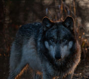 Intense Wolf in de Schaduwen Stock Foto's
