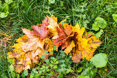 Intensely colorful autumn maple leaf Royalty Free Stock Photography