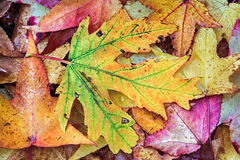 Intensely Colorful Fall Foliage Royalty Free Stock Image