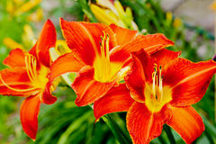Intensely red lily. Royalty Free Stock Photos