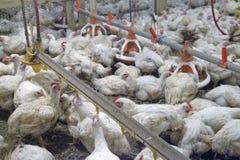 Intensief bewerkte kippen royalty-vrije stock afbeeldingen