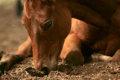 Intensity. Sweet foal approx 3 months old, sniffing in the dirt in a clearing of a forrest Stock Image