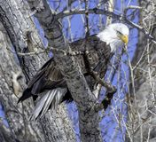 Intense Gaze of the Bald Eagle stock images