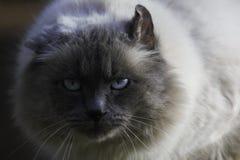Intensiv anstarrender flaumiger Birman Cat Face lizenzfreies stockbild