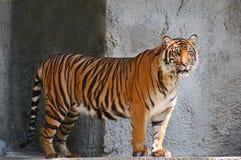 Intensiv aufpassender Tiger lizenzfreie stockfotografie