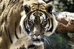 Intensiv Bengal Tiger Stare panthera tigris tigris fotografering för bildbyråer
