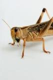 Intensiv closeupsikt av en utvandrande gräshoppa Royaltyfri Foto
