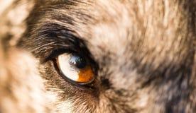 Intensiv hund- hundWolf Animal Eye Pupil Unique färg Arkivfoto