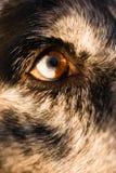 Intensiv hund- hundWolf Animal Eye Pupil Unique färg Fotografering för Bildbyråer