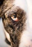 Intensiv hund- hundWolf Animal Eye Pupil Unique färg Royaltyfria Foton