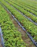 Intensiv odling i ett enormt fält av röda jordgubbar Arkivbild
