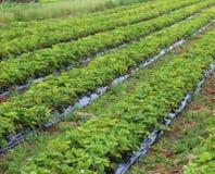 intensiv odling i ett fält av jordgubbar Arkivfoto