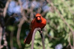 Intensiv roter Kardinal Stockfoto