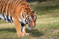 Intensiv stirrande för tiger Royaltyfri Foto