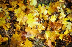 Intensiva varma solstrålar exponerar den torra guld- bokträdet lämnar att täcka skogjordningen arkivfoto