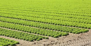 Intensive cultivation of fresh green lettuce in the very fertile. Plain in summer stock photography