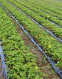 Intensive cultivation in a huge field of red strawberries Stock Photography