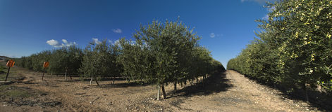 Intensive cultivation of olive trees Royalty Free Stock Images