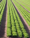 Intensive cultivation of salad in Northern Italy with vegetable Stock Photography