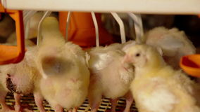 Intensive factory farming of chicks broiler houses stock video footage