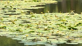 Intensive green water lily in a small lake stock video footage