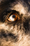 Intensive Hunde- Hunde-Wolf Animal Eye Pupil Unique-Farbe Stockbild