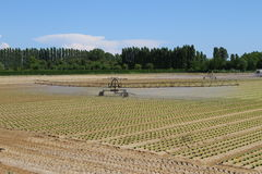Intensive irrigation in vegetable field Royalty Free Stock Photo