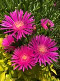 Intensive magentarote Blume Stockfoto