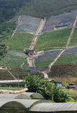 Intensive Mountain Farming. This is intensive farming in the developing world. This farm is on a steep slope. Some say this type of farming is harming the stock image
