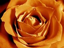 Intensive orange rose Royalty Free Stock Photo
