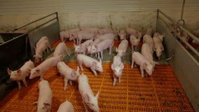 Intensively farmed pigs in batch pens. Intensive pig farming. Piglest in farm stock video footage