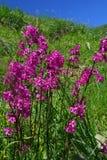 Intensive rosa Blumen grünen im Gegenteil Hintergrund mit blauem Himmel Lizenzfreie Stockfotos