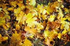Intensive, warme Sonnenstrahlen belichten das trockene, Goldbuche lässt das Umfassen des Waldbodens stockfoto