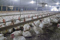 Intensively farmed chickens Stock Photos