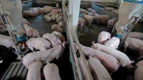 Intensively farmed pigs in batch pens. Intensively farmed pigs in a batch pens stock footage