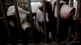 Intensively farmed pigs in batch pens. Intensively farmed pigs in a batch pens stock video footage