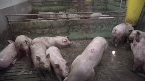 Pig Farm with Many Pigs. Intensively farmed pigs standing in a barn. Animal production concept stock footage