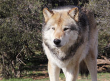 Intensiver alaskischer Gray Timber Wolf Lizenzfreies Stockbild