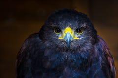 Intensiver gegenübergestellter Raubvogel, Stockbilder