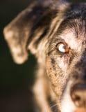 Intensiver Hunde- Hund Wolf Animal Eye Unique Color Lizenzfreie Stockbilder