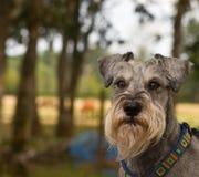 Intensiver schauender Minischnauzerhund stockfoto