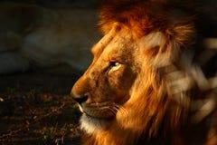 Intensywni Męscy lwów oczy Fotografia Royalty Free