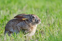 Intensywny królik Fotografia Royalty Free