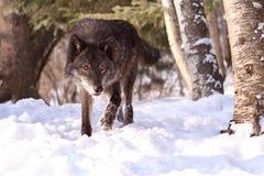 Intensywny spojrzenie wilczy polowanie w śniegu Zdjęcia Stock