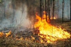 Intensywny zmielony pożar lasu w sosna stojaku Fotografia Royalty Free