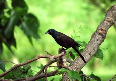 Intent Grackle Stock Images