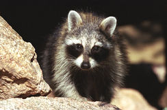 Intent raccoon. Raccoon portrait looking straight at you on a rock Royalty Free Stock Photography