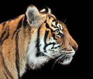 Intent tiger. Beautiful tiger concentrating isolated against black stock photography
