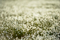 Intentionally blurred cotton grass flowers in back light Stock Image